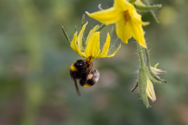 Bumble bee pollinating a tomato flower