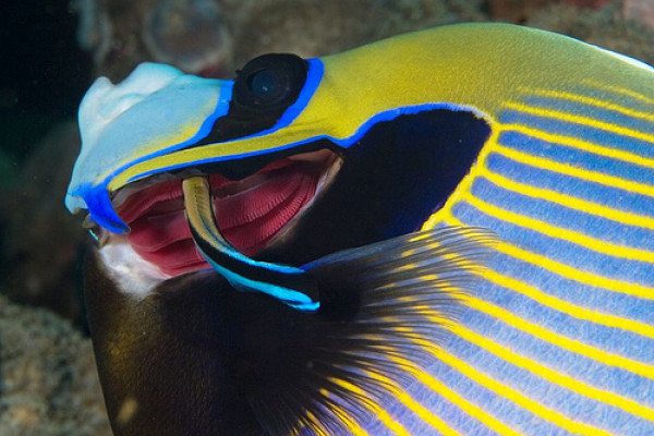 Cleaner wrasse and angelfish