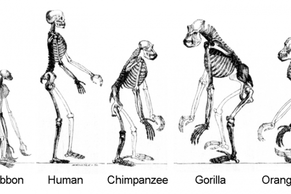 Evolution, ape skeletons. Gibbon now shown at natural size.