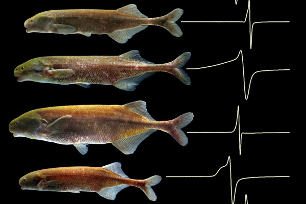 Mormyrid electric fish community inhabiting the Okano River near the abandoned village, Na, Gabon, west-central Africa. At this locality, all co-occurring mormyrids happen to belong to genus Paramormyrops. Each fish is shown with a recording of its...