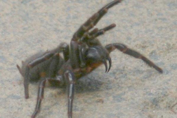 The Sydney funnel web spider (Atrax robustus).