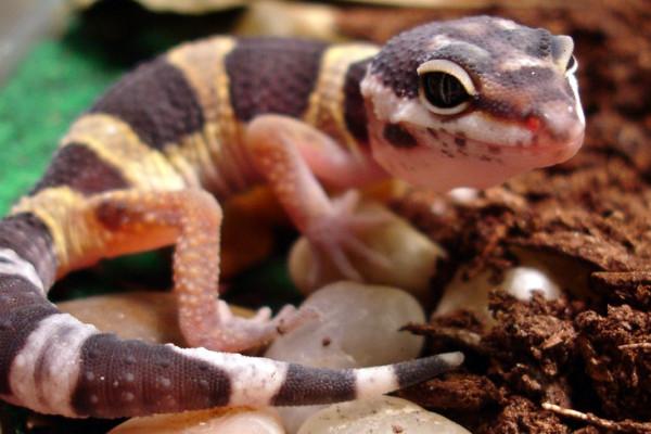 Leopard print Gecko