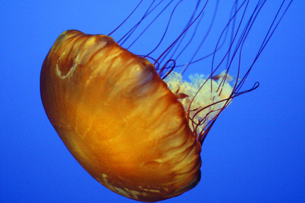 A jellyfish at the Monterey Bay Aquarium, California 2004