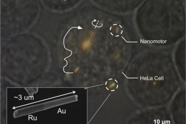 Optical microscope image of a HeLa cell containing several gold-ruthenium nanomotors. Arrows indicate the trajectories of the nanomotors, and the solid white line shows propulsion. Near the center of the image, a spindle of several nanomotors is...