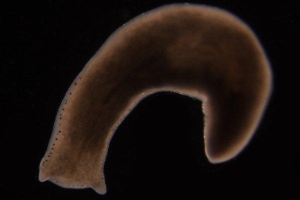 Planarian worm - Polycelis felina