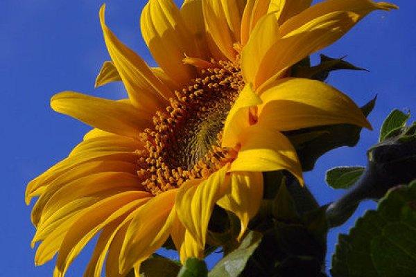 Fiery Blooms: 5 variedades de girasol exóticas para plantar ahora - Autoridad orgánica