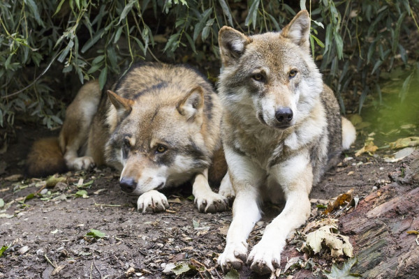 wolves sitting down
