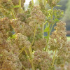 Quinoa - Chenopodium quinoa - capable of tolerating extremes of salinity, temperature and drought and produces nutritious seeds.