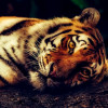 Tigers are under threat from people buying body parts for medicine and trophies