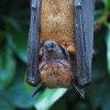 A sleeping bat, hanging upside down