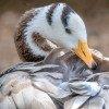 A bar-headed goose