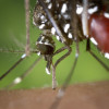 Aedes albopictus (tiger mosquito)