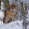 A wolf walking through a snowy forest.