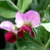 Purple pea flower