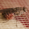 tsetse fly feeding in blood in the laboratory
