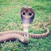 A king cobra snake
