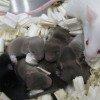 Mice from sperm flown in space