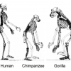 Evolution, ape skeletons. Gibbon now shown at natural size.