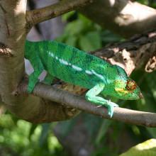 Female Chameleon, Madagascar