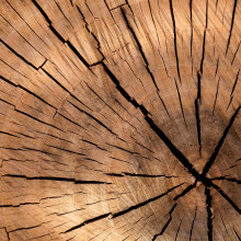 Tree rings indicate the age of a tree in years