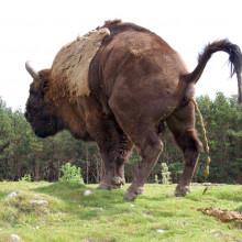 Buffalo pooing