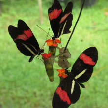 photo of Heliconius Melpomene butterflies
