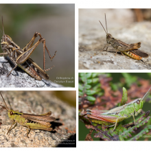 grasshopper speciesDifferent species of Chorthippus grasshopper that closely resemble each other