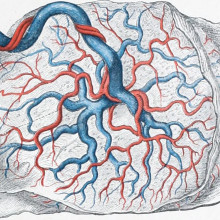 Drawing of a placenta
