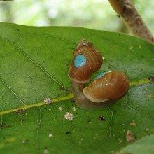 Partula snails