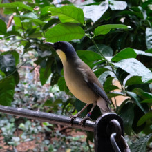 Blue Crowned laughing thrush