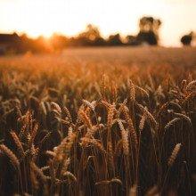 Field of wheat crops