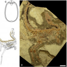 Sinosauropteryx prima Fossils and Interpretive Drawings