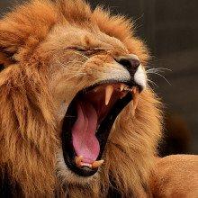 Male lion roaring