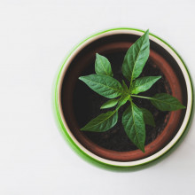 Green potted plant.