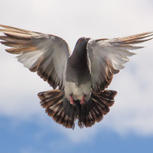 Pigeon flying.