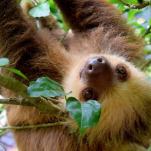 A two-toed Costa Rican sloth