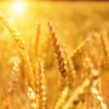 this is a picture of a wheat field