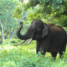 Elephant in wild
