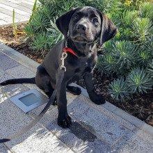 Bruce the black lab puppy