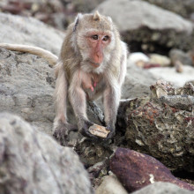 Macaques using tools to collect shellfish in Thailand