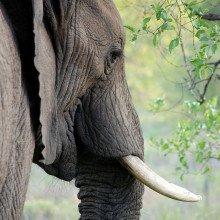 An elephant's head and tusk.