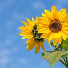blue sky background, sunflowers foreground