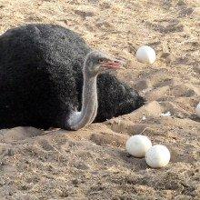 An ostrich and ostrich eggs
