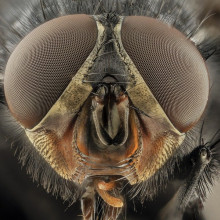 A close-up of the head of a blowfly.