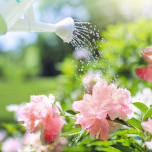 Watering some peonies with a watering can.