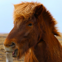 photo of an Icelandic horse