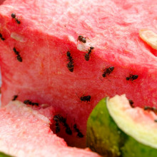ants climbing on watermelon slices