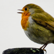 A robin singing