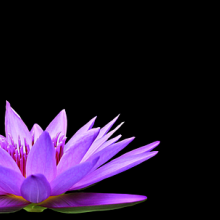 Water lily on a black background