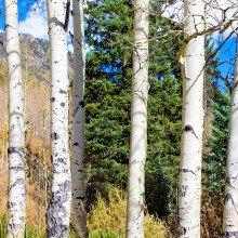 Aspen trees in Colorado.